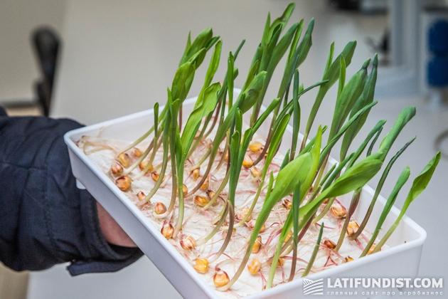 Семена кукурузы станут одним из топов продаж сезона-2017