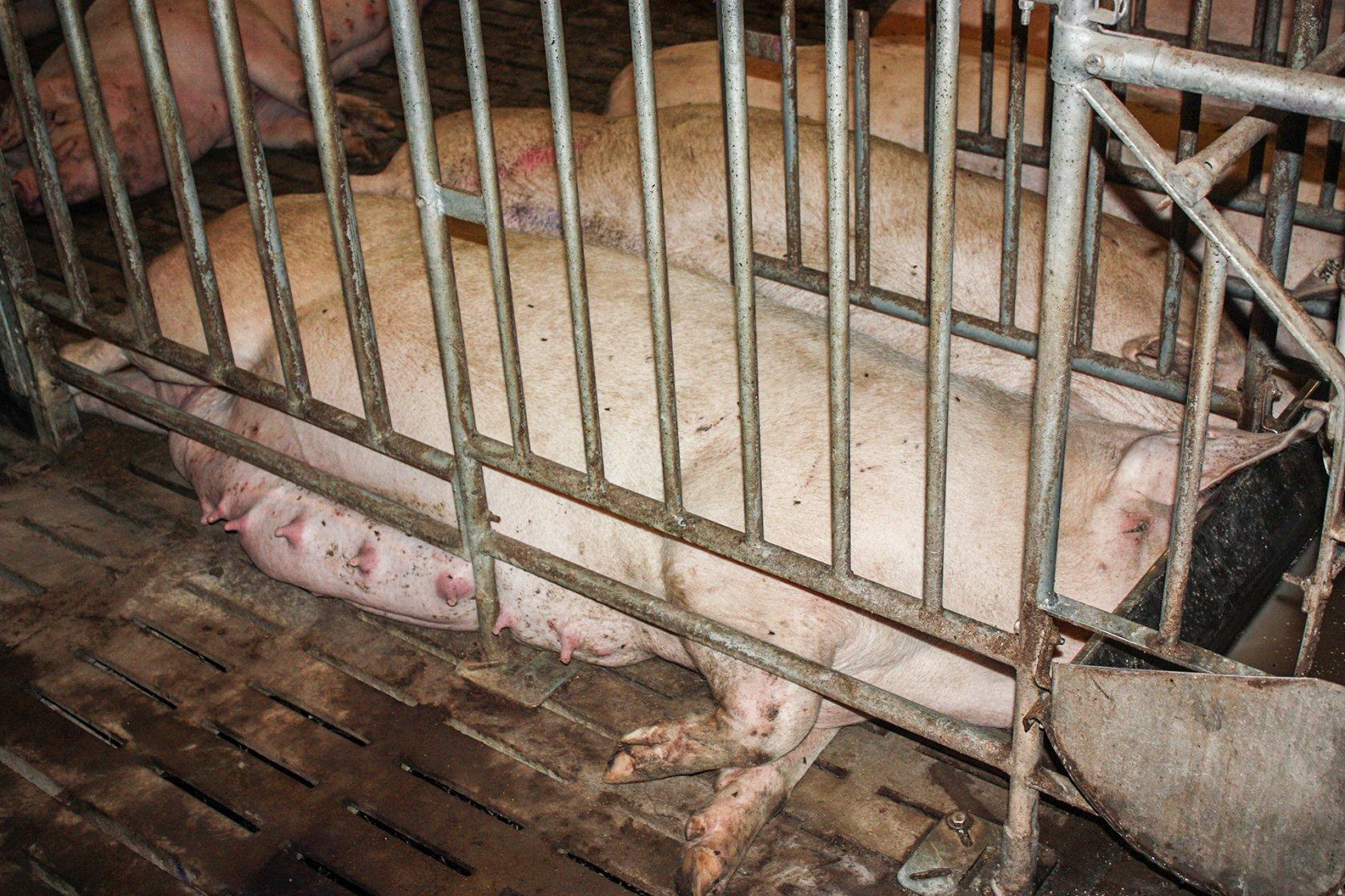 Взгляд изнутри Свинокомплекс com Супоросная свиноматка