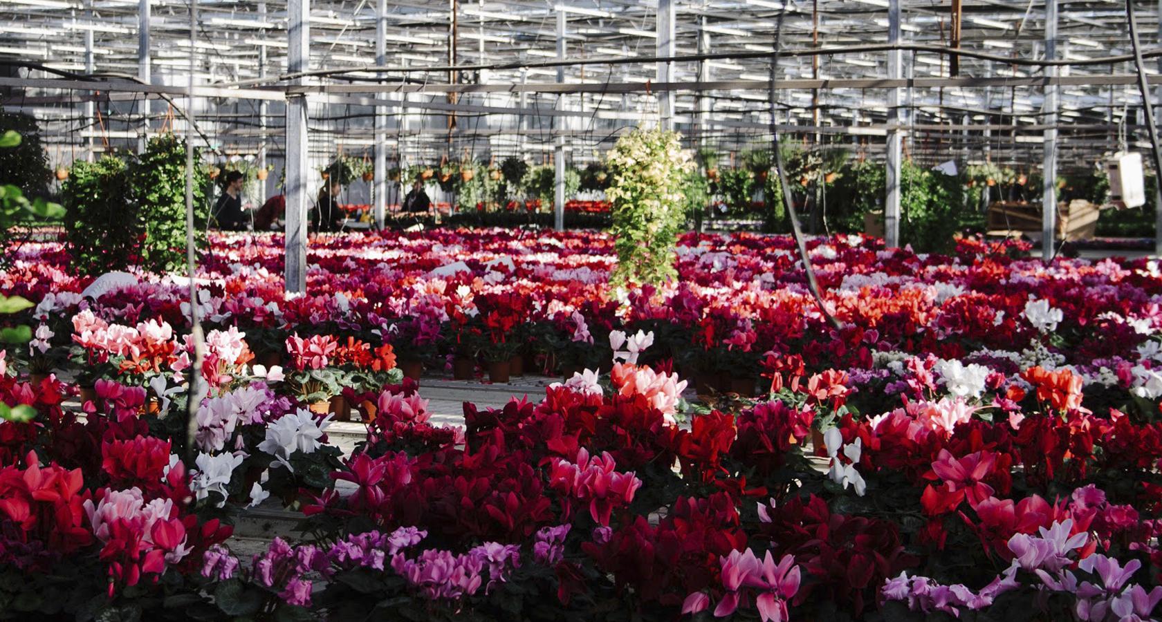 Букет васильков, купить цветы в арамиле